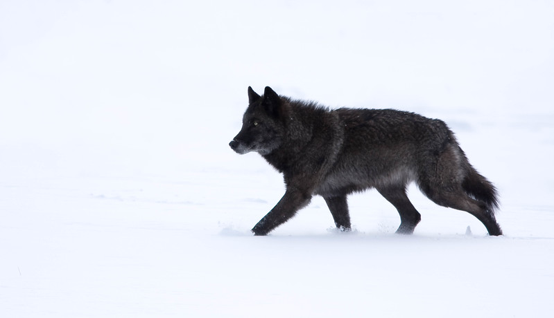 Black wolf in snow, Yellowstone National Park
