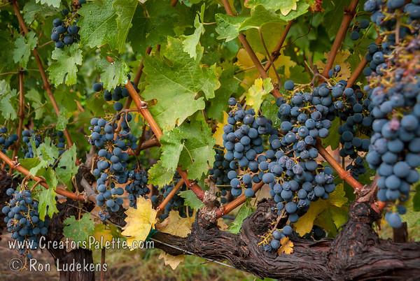 Cabernet Sauvignon - Vitis vinifera