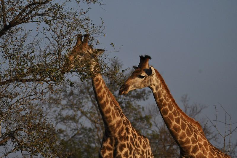 kruger-giraffe03.jpg