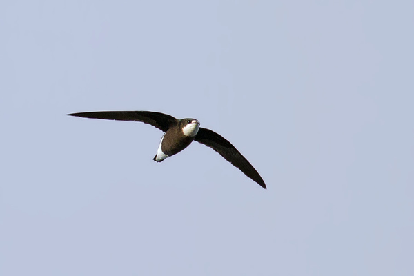 Swifts and swiftlets