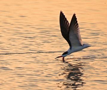 Shorebirds of Texas