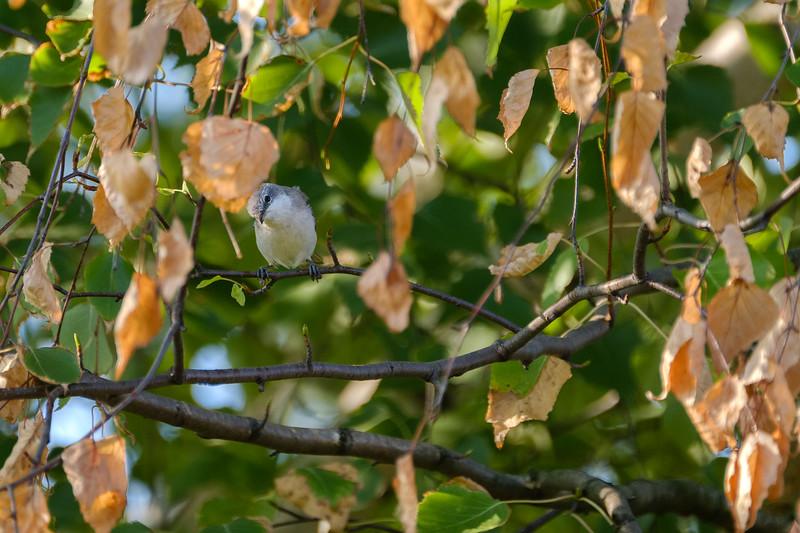 piegża | lesser whitethroat | sylvia curruca