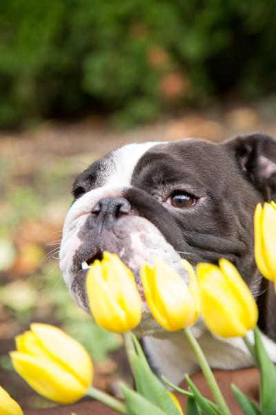 Gracie Tulips-4.jpg