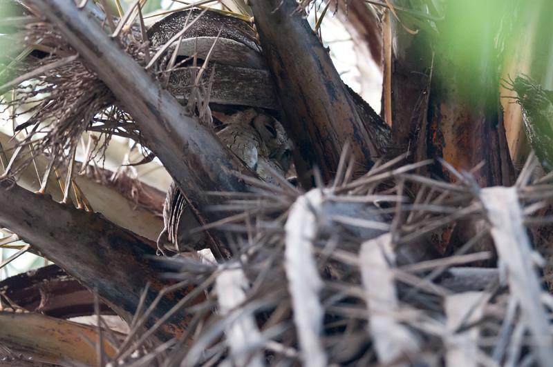 Collared Scops-Owl