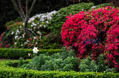 2020 Azalea and Spring Flower Trail by Sarah A. Miller, Bruce Bean & Sandra Boynton