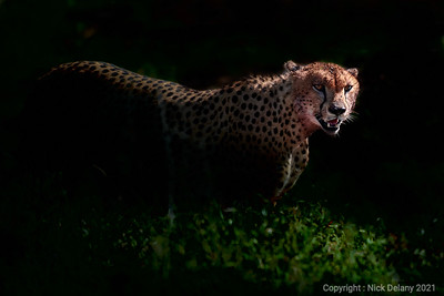 Cheetah fresh from the kill
