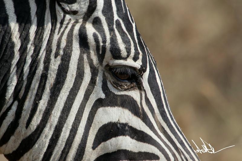 ZebraS-38.jpg
