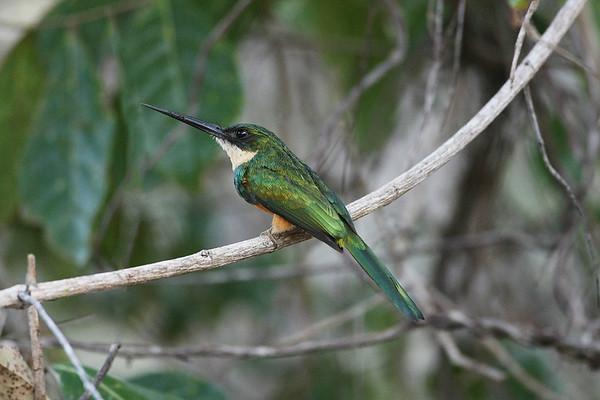 095 Galbulidae - Jacamars