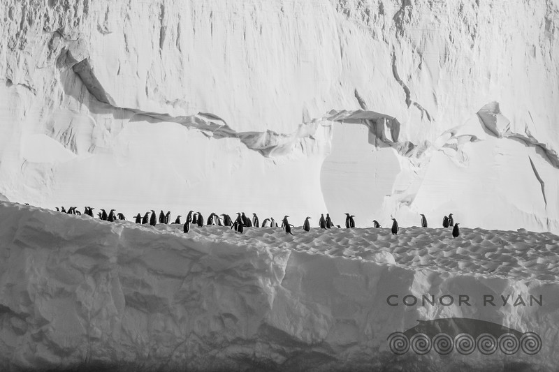 penguin crowd
