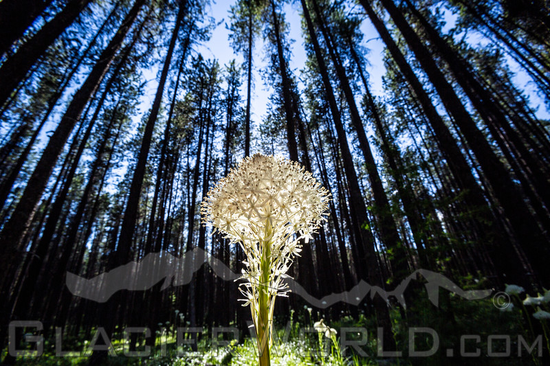 Full bloom beargrass Xerophyllum tenax near West Glacier, Montana.