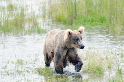 Alaskan brown bear standing in water