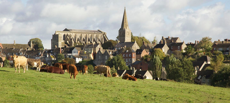 The cows in the meadows in Malmesbury, Wiltshire