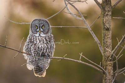 Great Gray Owl - Massena, NY  2-19-17
