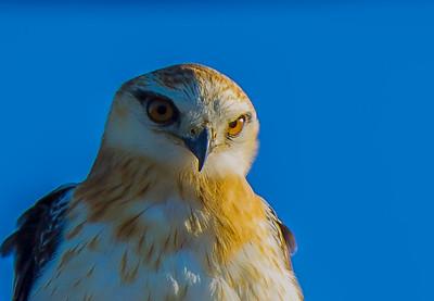 Aerial Birds