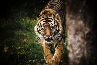 Miranda's Tiger
