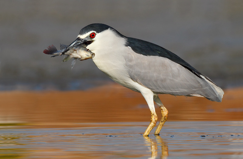 Night Heron with fish LS MASTER.jpg