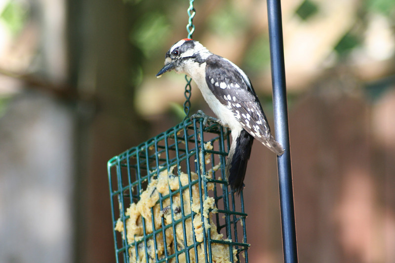 Downy Woodpecker (3).JPG