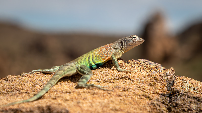 Texas greater earless lizard Big Bend-1852.jpg