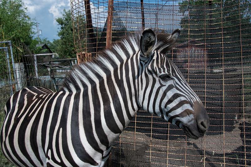 ZebraSidePortrait.jpg