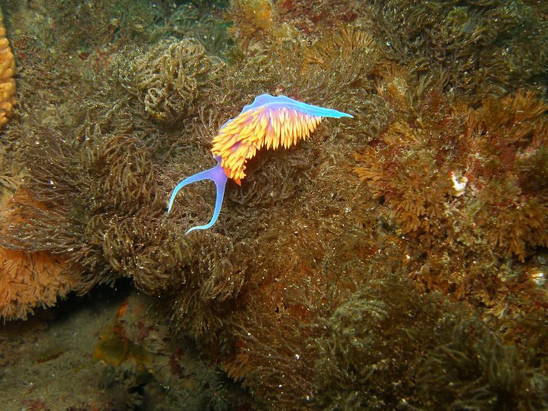Spanish Shawl Nudibranch on Brown Algae, Santa Cruz Island, Channel Island Marine Sanctuary, CA