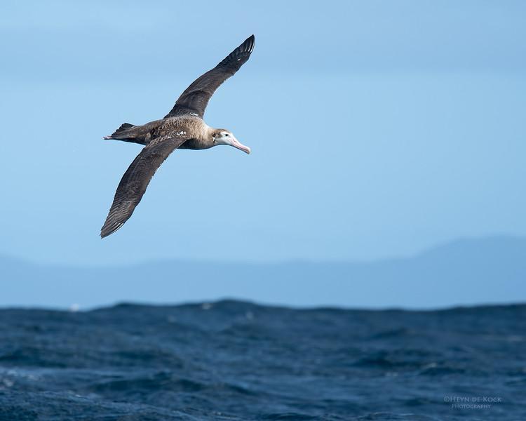 Wandering Albatross, Eaglehawk Neck Pelagic, TAS, Sept 2016-4.jpg