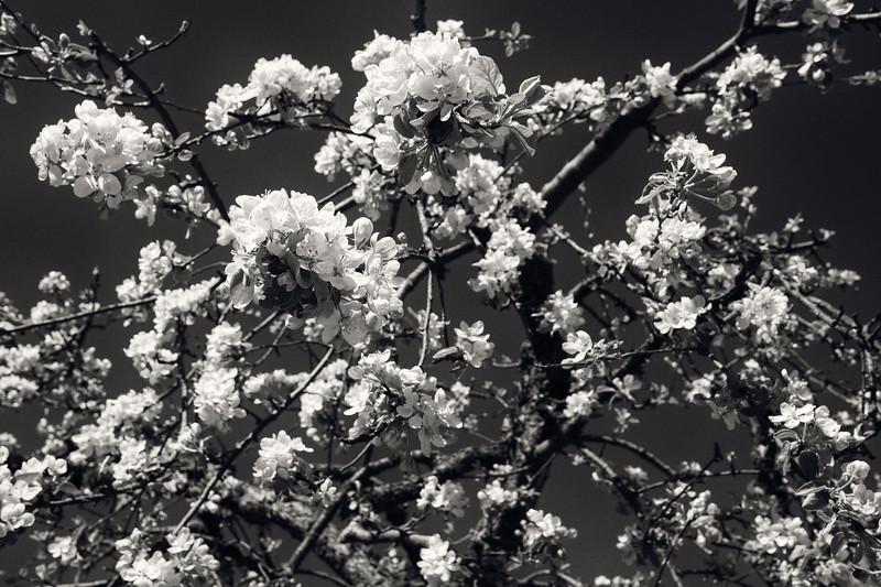 Cherry Blossom. Petergof, 2019.