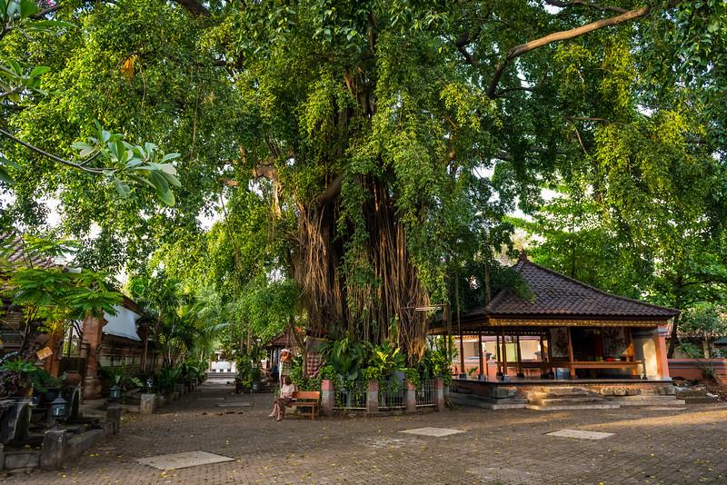 Big Ficus Tree