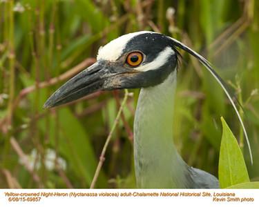 Yellow-crowned Night-Heron A69857.jpg
