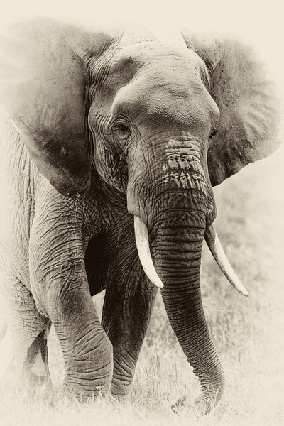 Elephant _MG_0318b.jpg