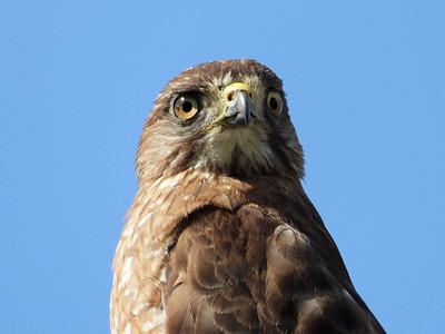 20200808 Broad-winged Hawk