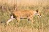 Female lion walking through tall grass of the African plains. Photography fine art photo prints print photos photograph photographs image images artwork.