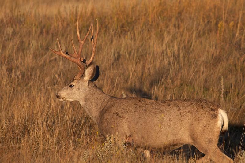 Mule Deer buck Theodore Roosevelt NP South Unit ND IMG_0008153.jpg