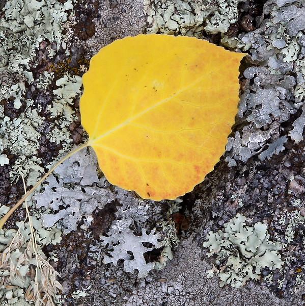 Aspen Leaf and Lichen