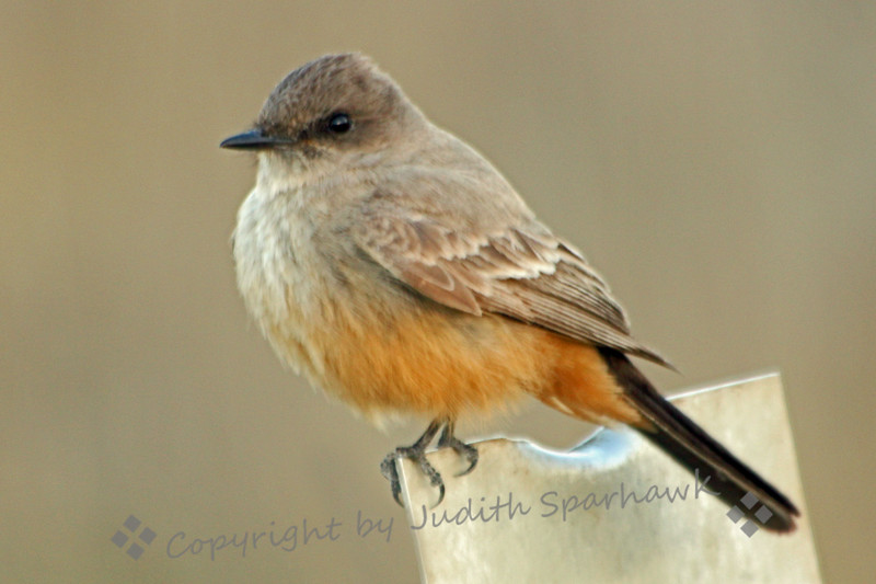 Say's Phoebe ~ Photographed on 12/26/11 at San Jacinto Wildlife Area in Southern California.