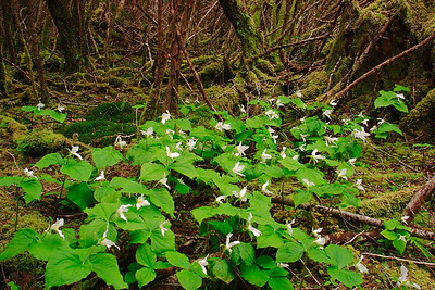 Trillium (Trillium ovatum) growing in the woods along the trail to Second Beach near the Quileute Indian Reservation, Olympic National Park, WA. © 2006 Kenneth R. Sheide