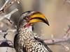 Yellow Billed Hornbill Profile