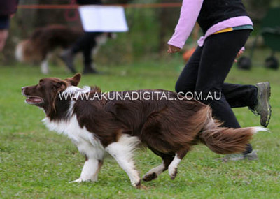 Afternoon Events Bendigo Dog Agility Trials