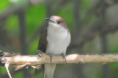 Black-billed Cuckoo