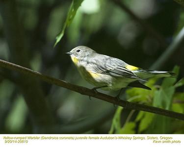 Yellow-rumped Warbler Audubon's F20810.jpg
