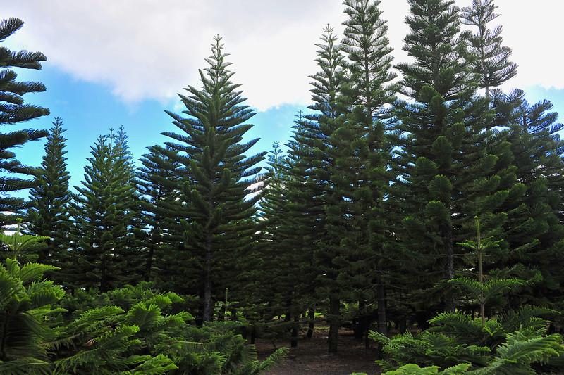 Hawaii_Christmas_Tree_3.jpg