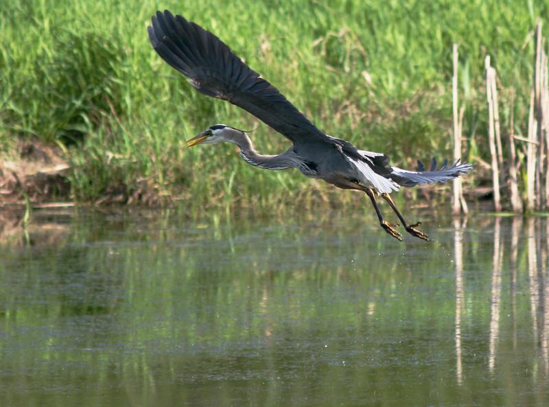 Heron flying 1 10 June 2005.jpg