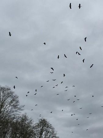 Heron Swarm - March 20, 2016