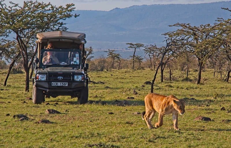Lion on the prowl - Naboisho Conservancy