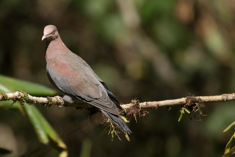 Costa Rican Dove