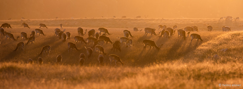 Evening sun and a lot of deers