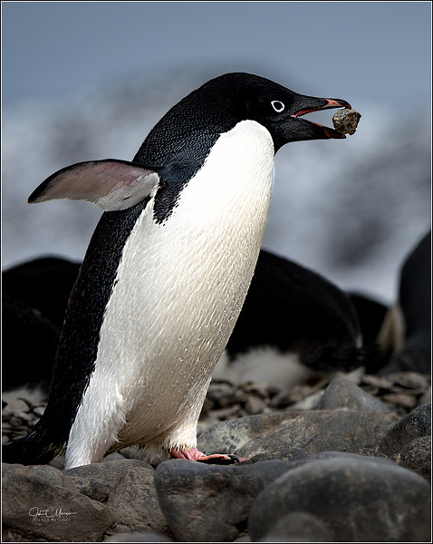 JZ7_9897 Penguin w Pebble cust LPTW.jpg