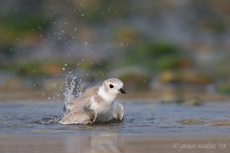 Piping Plover Fledgling Bathing