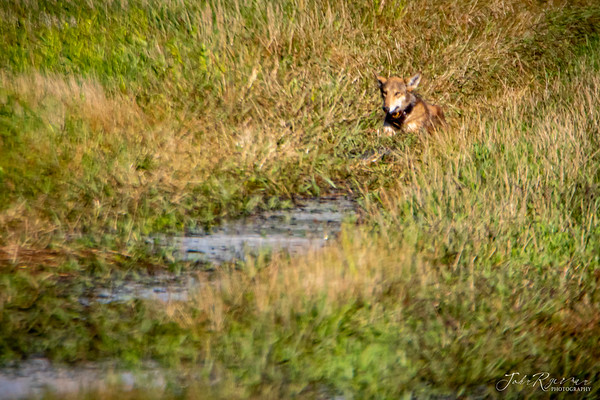 Red Wolves of NC Slideshow