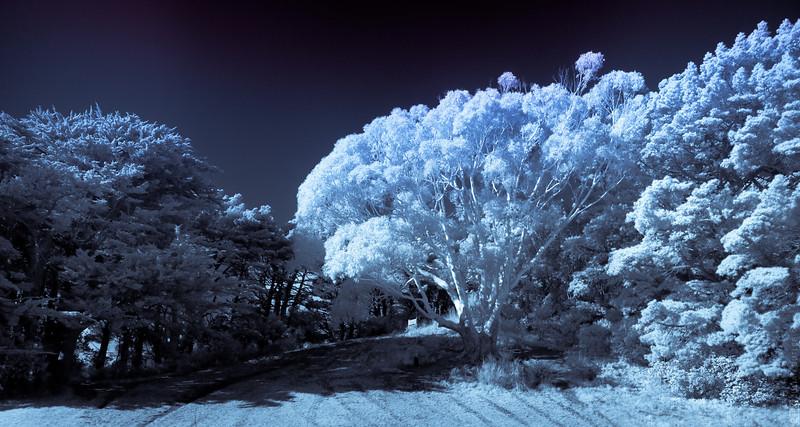 Mount Victoria Trees