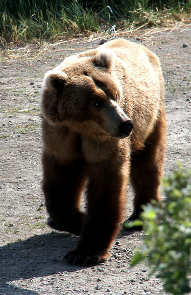 Katmai Bear9.jpg